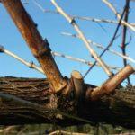 Poda nas rías baixas a cotón e vara (pulgar y vara)