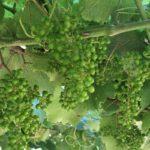 Desnete en albariño de viña moraima